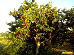 Crostata alle ciliegie
