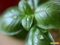 Come conservare il basilico per l'inverno